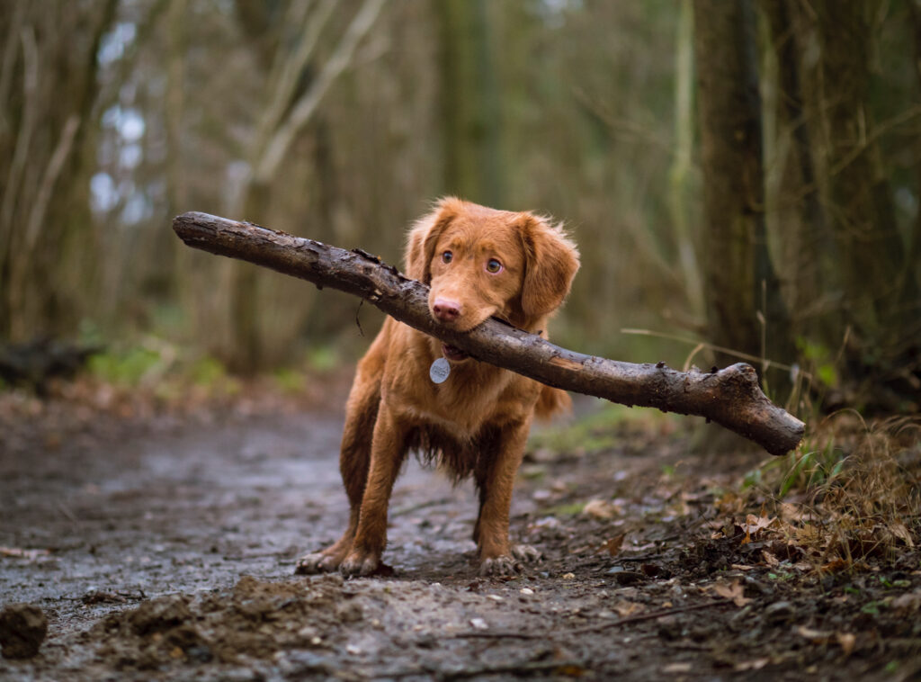 A dog carries a stick in its mouth down a wet forest path.